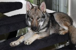 Lycanis Wolfdog Germany Mix Between Tchekoslovakian An Spencer Wolfdog Hunde