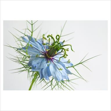 Garden Plant Picture Library Nigella Damascena Love In A Mist Gap Photos Specialising In Horticultural Plant Pictures Flower Drawing Flower Pictures