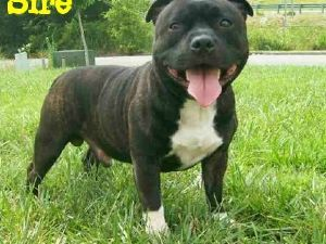 Staffordshire Bull Terrier Puppies In Kentucky Staffordshire