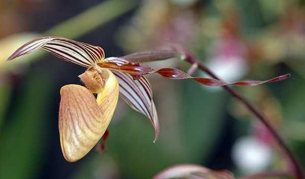 Paphiopedilum wilhelminiae L.O.Williams