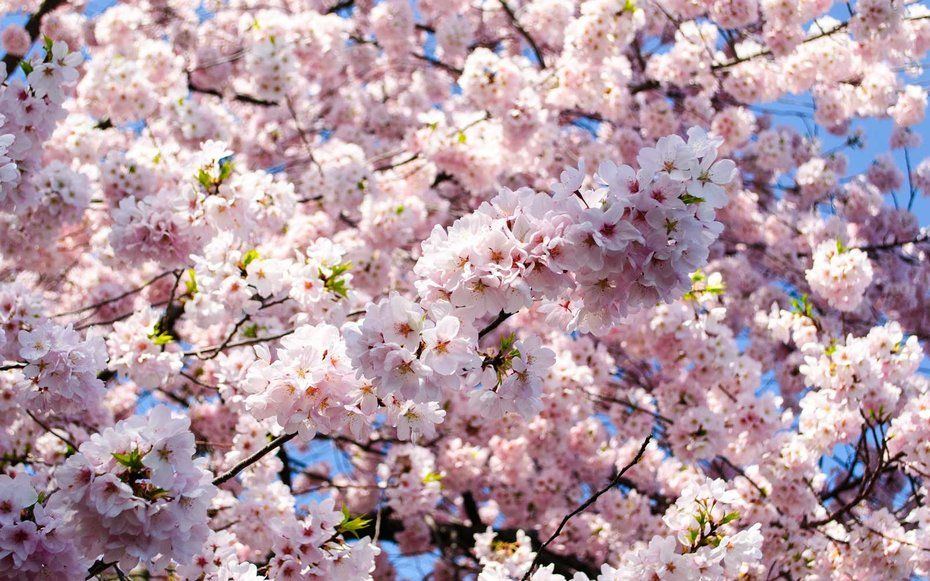 Here S When To Catch Cherry Blossoms In All Their Glory In D C This Year Cherry Blossom Festival Blossom Cherry Blossom