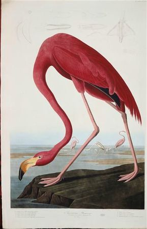 Flamnd rose - Audubon