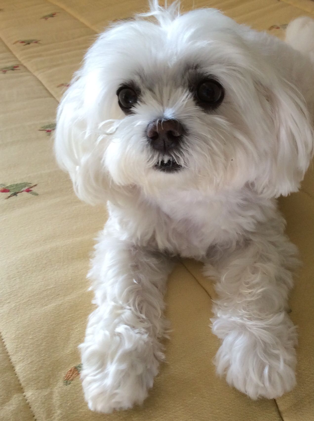 My Little Doll This Looks So Much Like My Annie Maltese Dogs