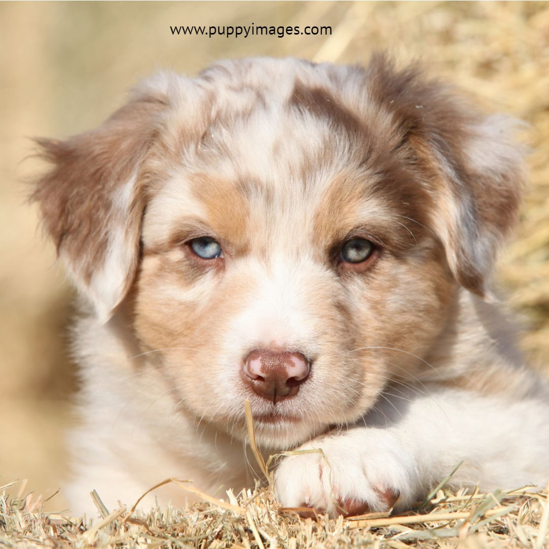 Australian Shepherd Puppy In Hay With Images Australian Shepherd Shepherd Puppies