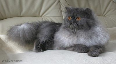 Cfa Ch Wc My Fantasy S Blue Ice Sensation Of Silverdance Blue Smoke Persian Persian Kittens Persian Cat Cat Lovers