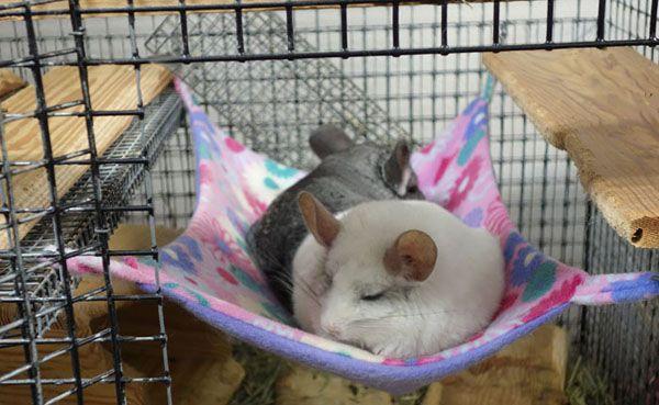 steel flying saucer chinchilla exercise wheels steel flying saucer chinchilla exercise wheels   da petz      rh   pinterest