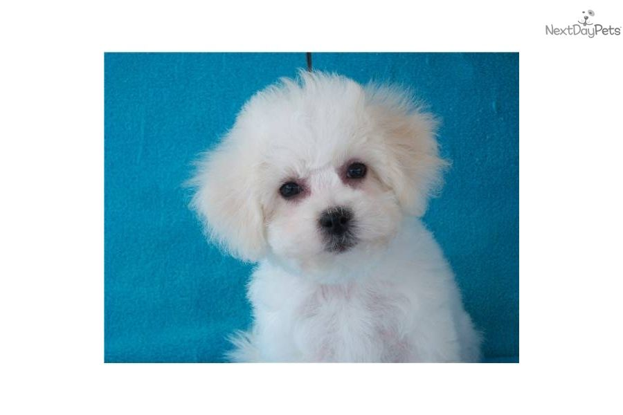 Meet Sno Bella A Cute Bichon Frise Puppy For Sale For 2 000