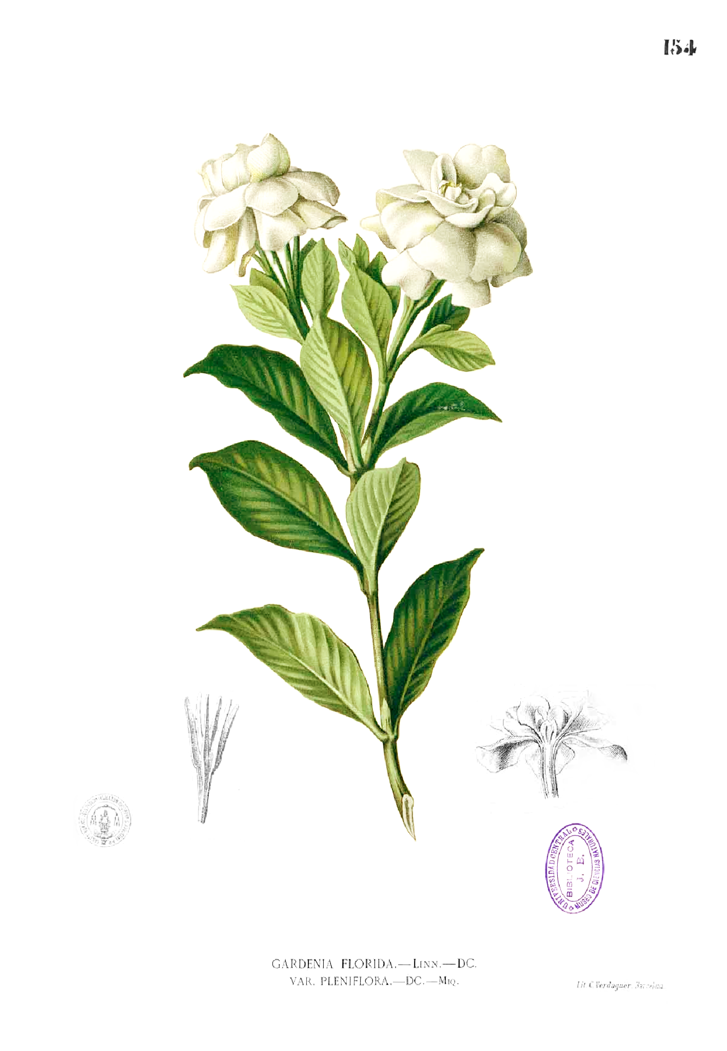 Http Upload Wikimedia Org Wikipedia Commons 4 41 Gardenia Jasminoides Blanco1 154 Png Gardenia Gardenia Plant Flower Drawing