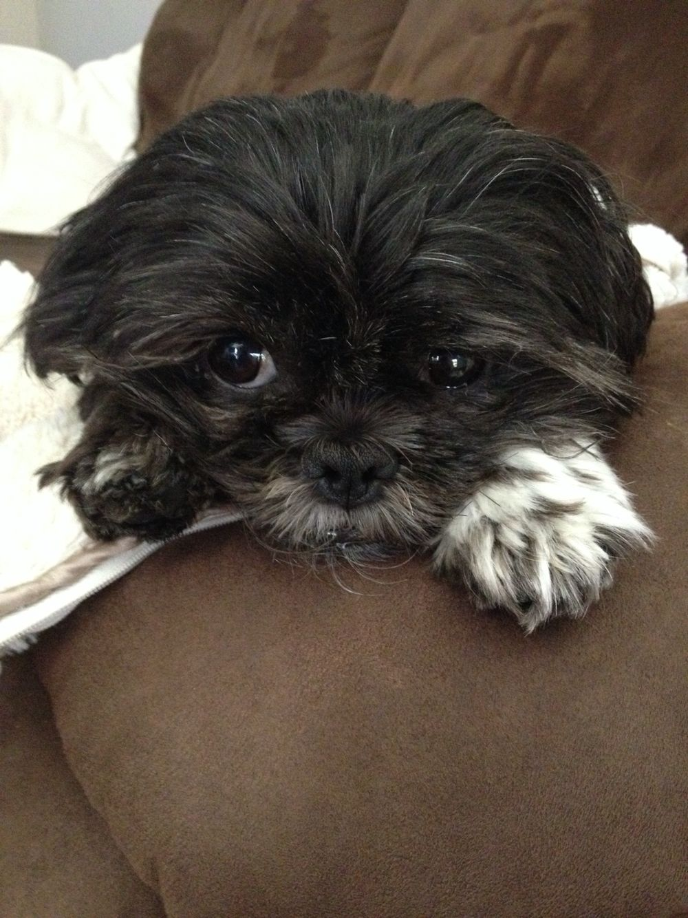 Shih Tzu Black And White Bella Cute Animals Shih Tzu Cute Puppies