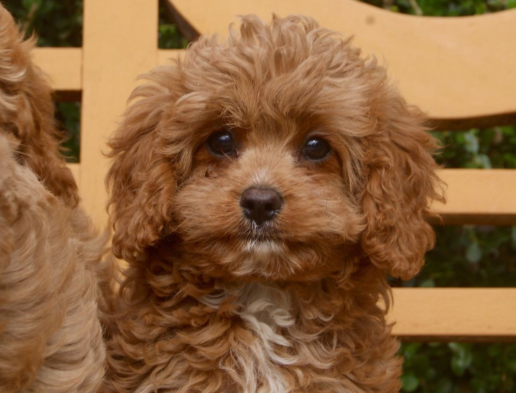 Cavoodle Breeder Designer Dog Cavapoo Puppy For Sale