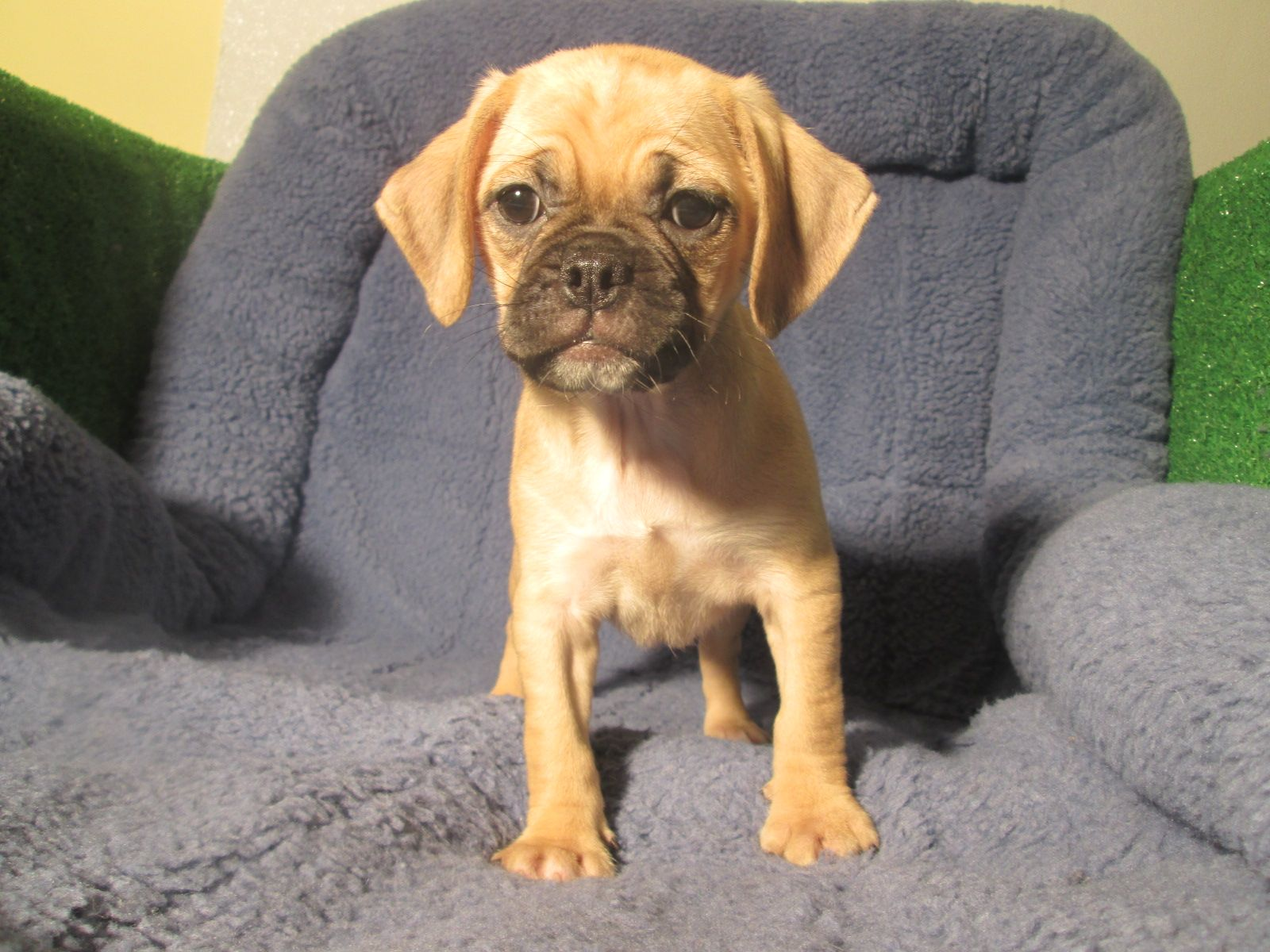 Adorable Puggle Puppies Available Pug X Beagle 8 12 Weeks Of