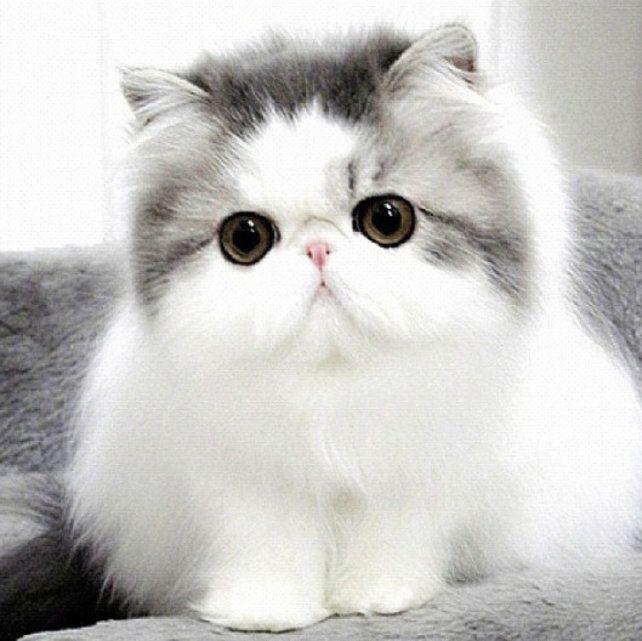 Persian cat tumblr