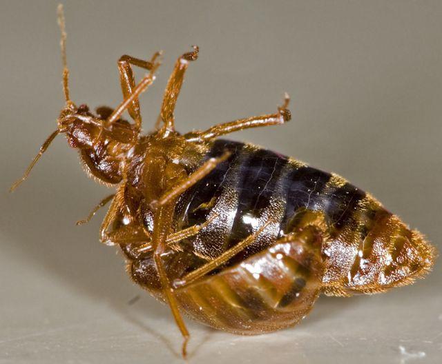 Http Bedbugguide Com With Images Bed Bugs Bed Bug Bites Bed Bug Bites Treatment