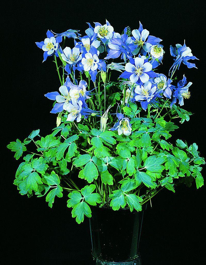 Aquilegia Dynasty Bulk Perennial Seeds Perennials Flower Seeds Seeds