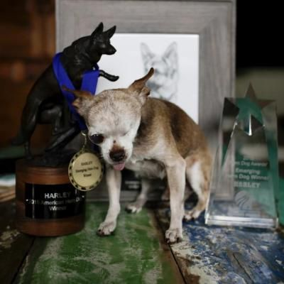 Mobile Web - Lifestyle - Harley the Chihuahua named American Humane Association's 2015 Hero Dog