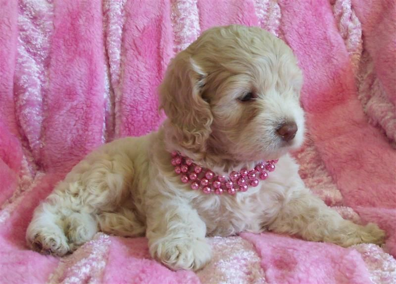 Puppies For Sale Teacup Toy Mini Cockapoos Yorkiepoos