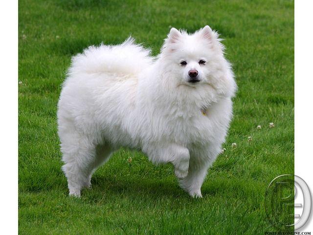 Pomeranian Puppy For Sale In Mumbai Maharashtra India In Pet Animals And Accessories Category Under Budget 12 American Eskimo Dog Puppy Dog Breeds Eskimo Dog