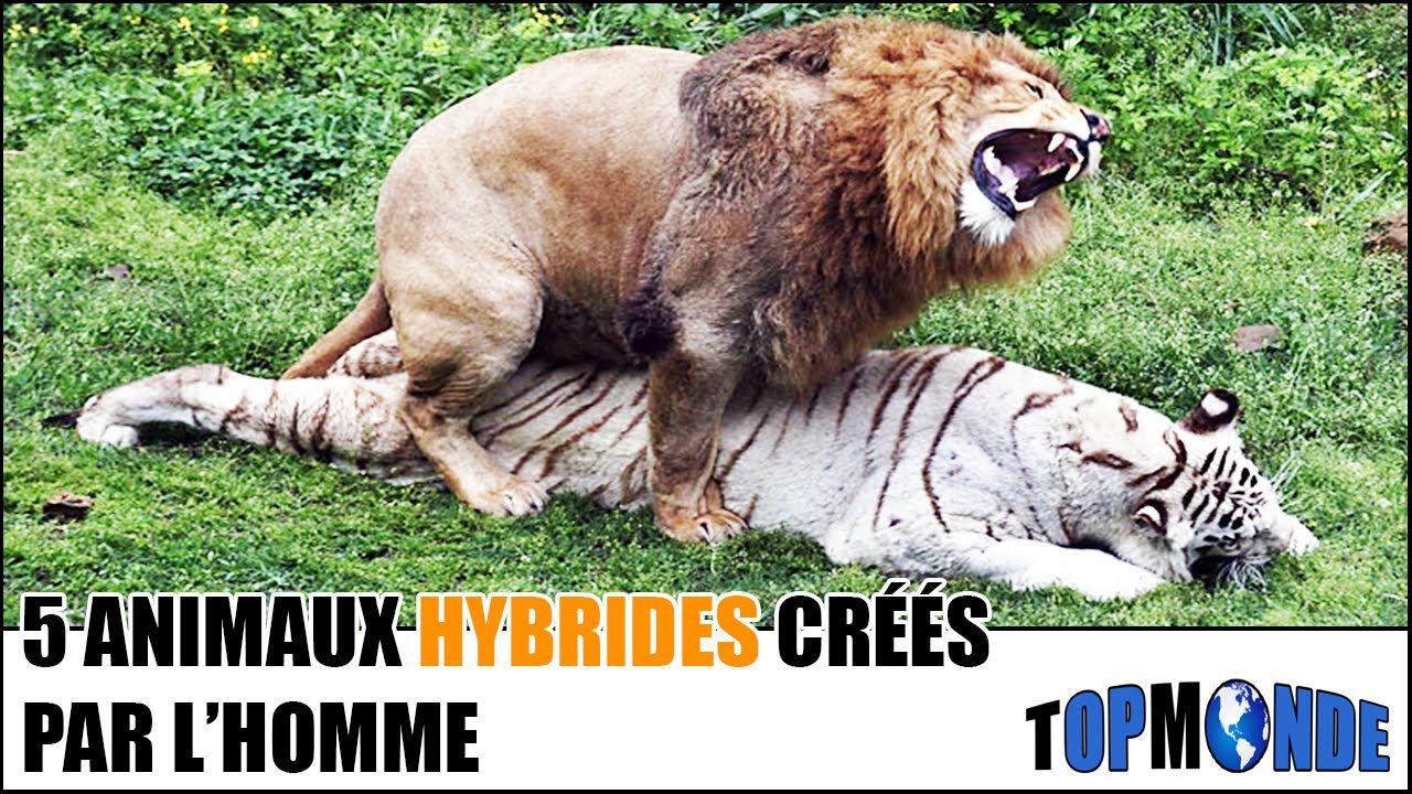 5 animaux hybrides cr s par l 39 homme vid o youtube pinterest animaux hybrides hybride et. Black Bedroom Furniture Sets. Home Design Ideas