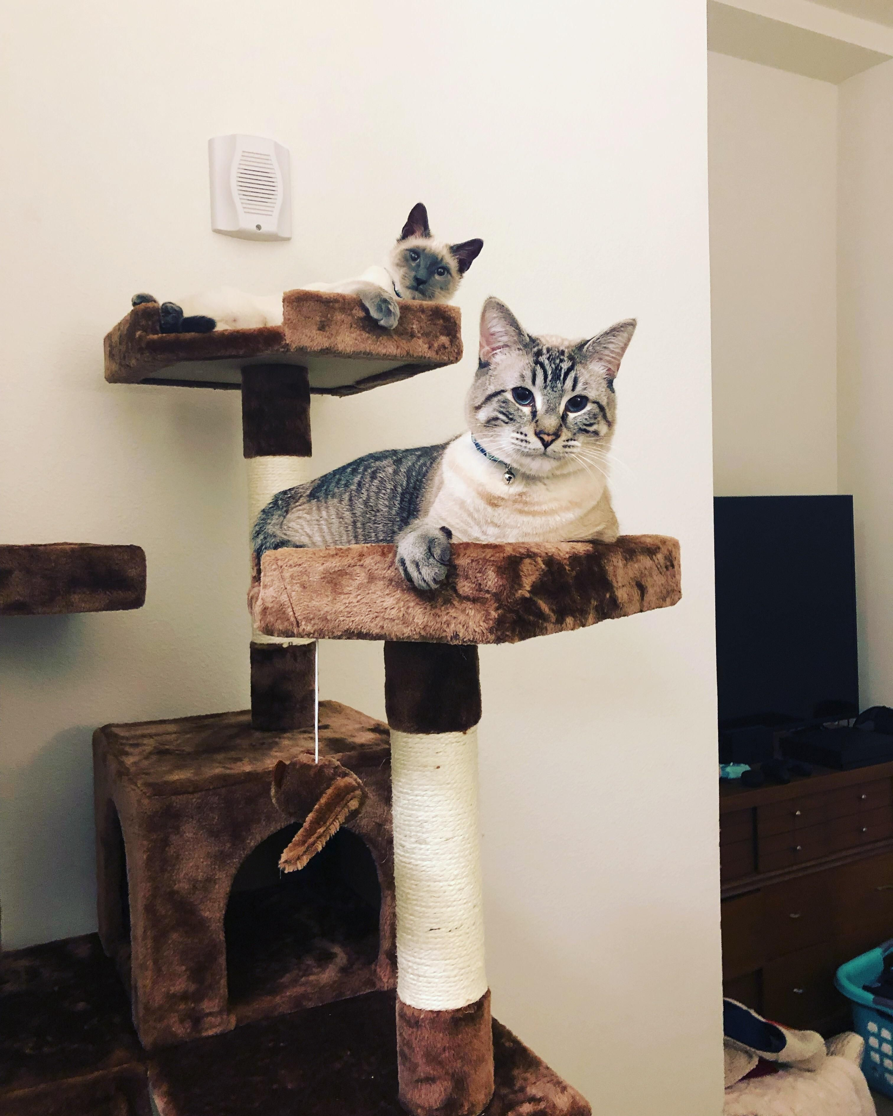 Hanging In Their New Cat Tree Cat Having Kittens Silly Cats I