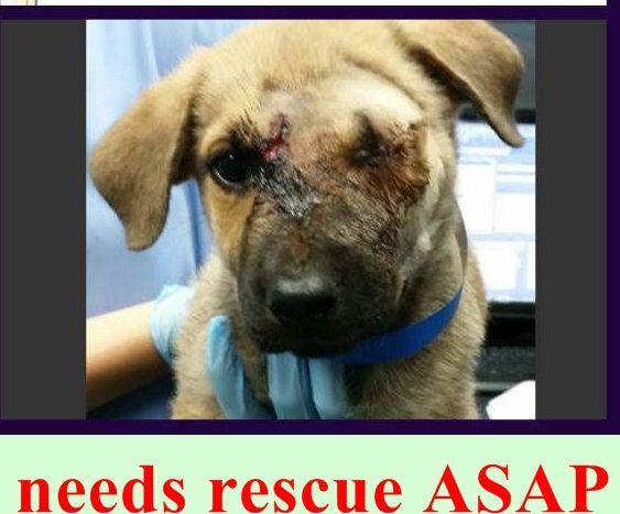Injured Puppy Post Operative Enucleation 1693167 Needs Rescue Asap Miami Dade Shelter Https Www Facebook Com Urgent Dog Adoption Animals Pet Adoption