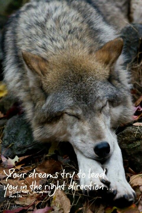 Wolf ~ Your dreams will lead you in the right direction.
