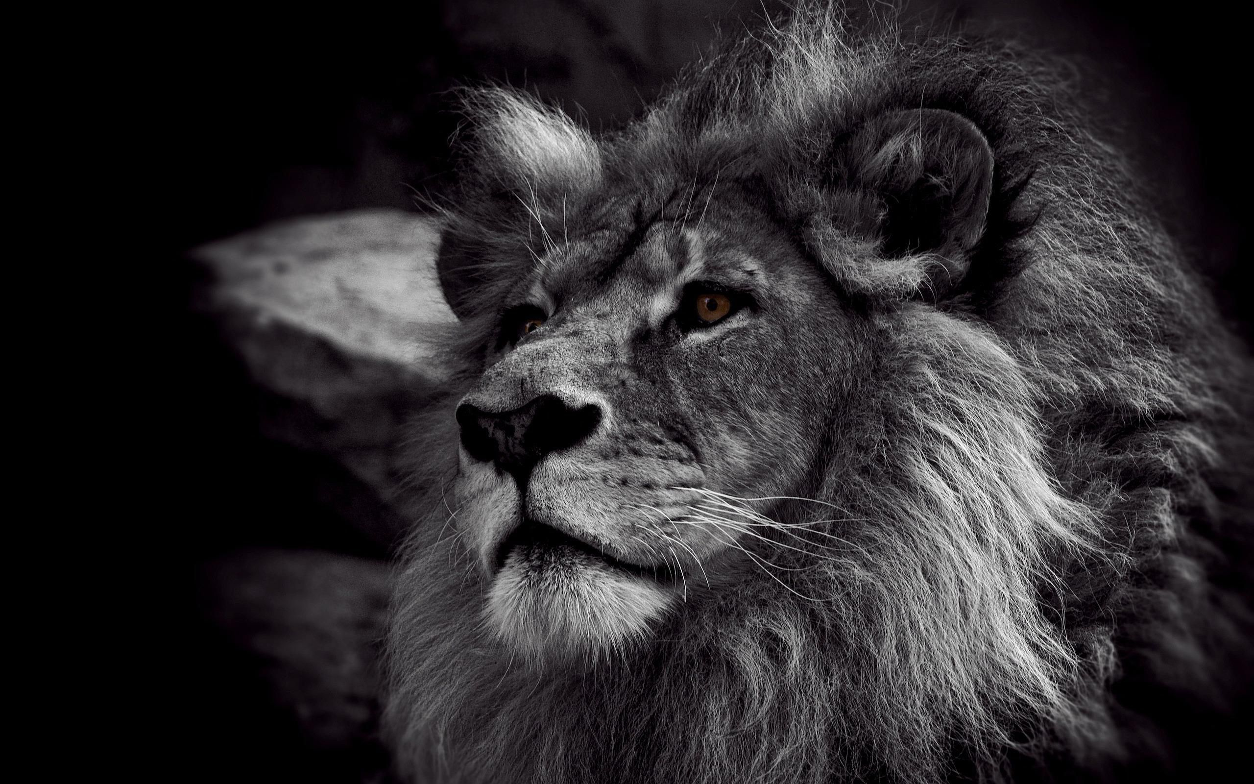 Angry Lion Wallpapers Hd Lion Wallpaper Lion Images Black And White Lion