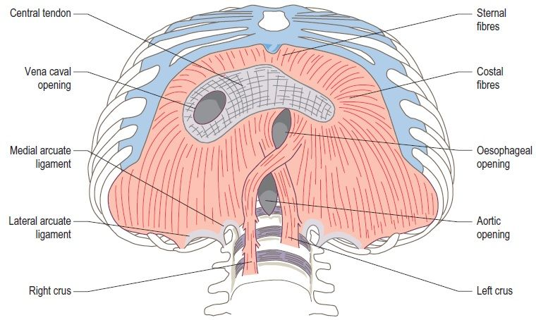 diagram showing crus | Abd Ultrasound 100 Mod 2 | Pinterest