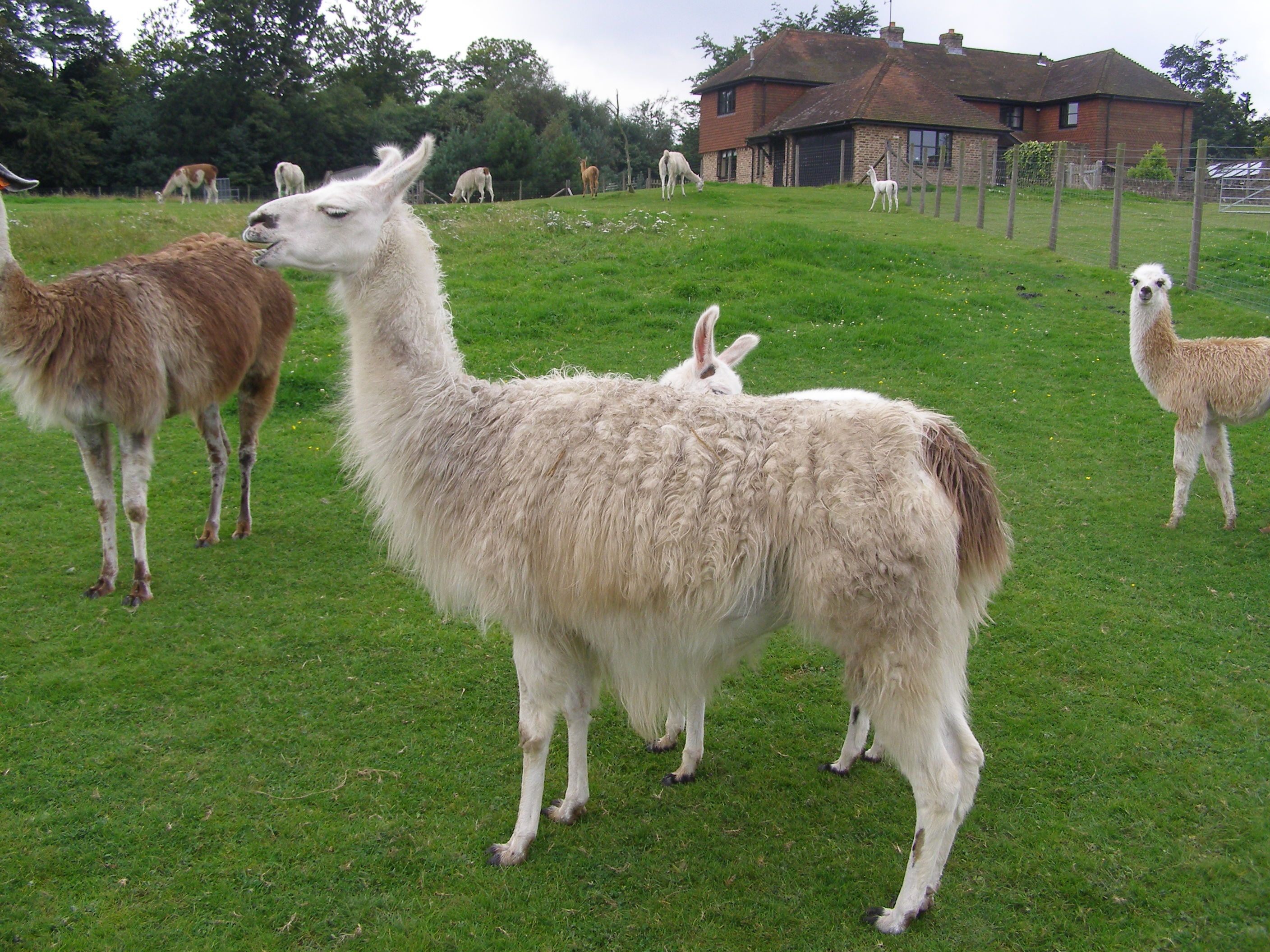 Different Types of Llamas Animal with Facts