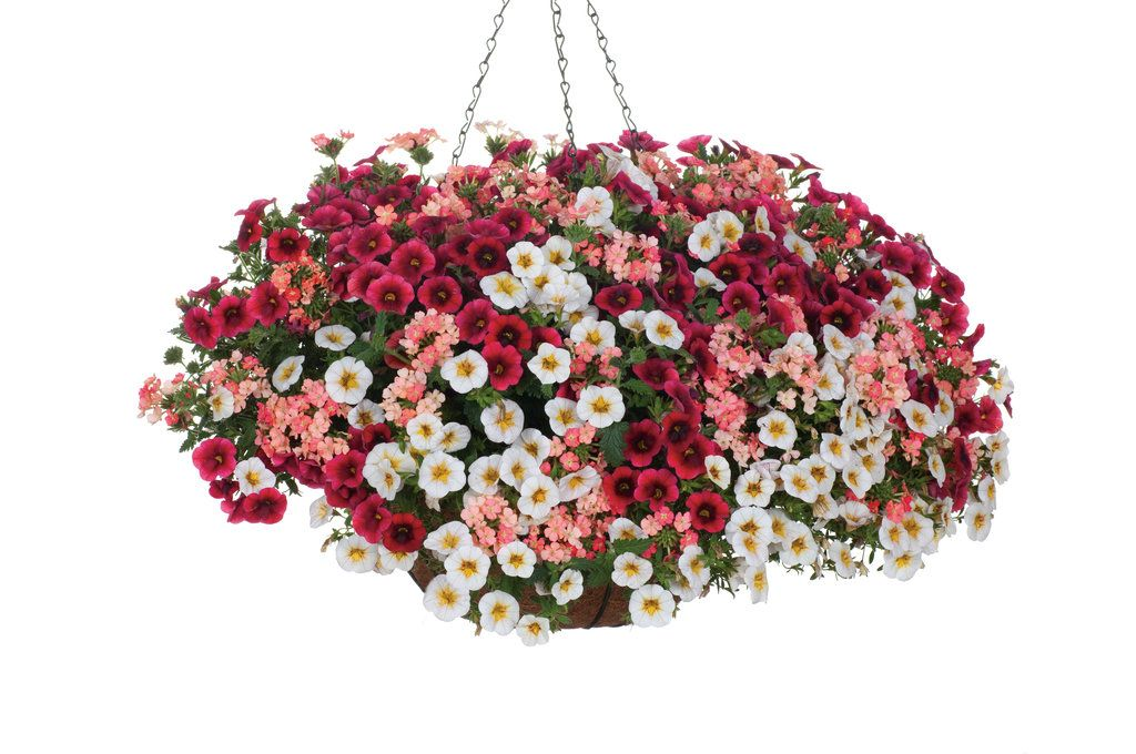 Hanging Basket U0027Cherry Peach Parfaitu0027 Featuring: Calibrachoa U0027Superbells  Frostfireu0027 U0026 U0027Superbells Pomegranate Punchu0027 With Verbena U0027Superbena Royale  Peachy ...