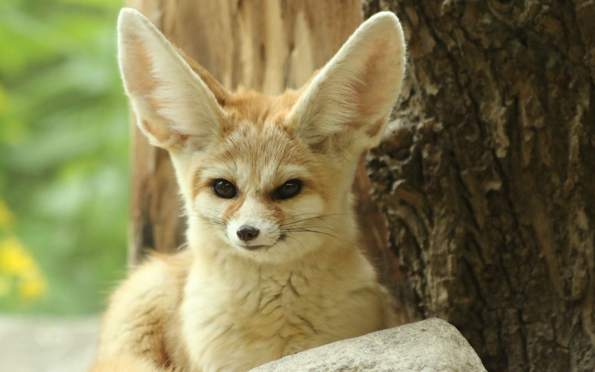 Cool Fennec Fox Photography 1V8 Pretty Wallpapers HD