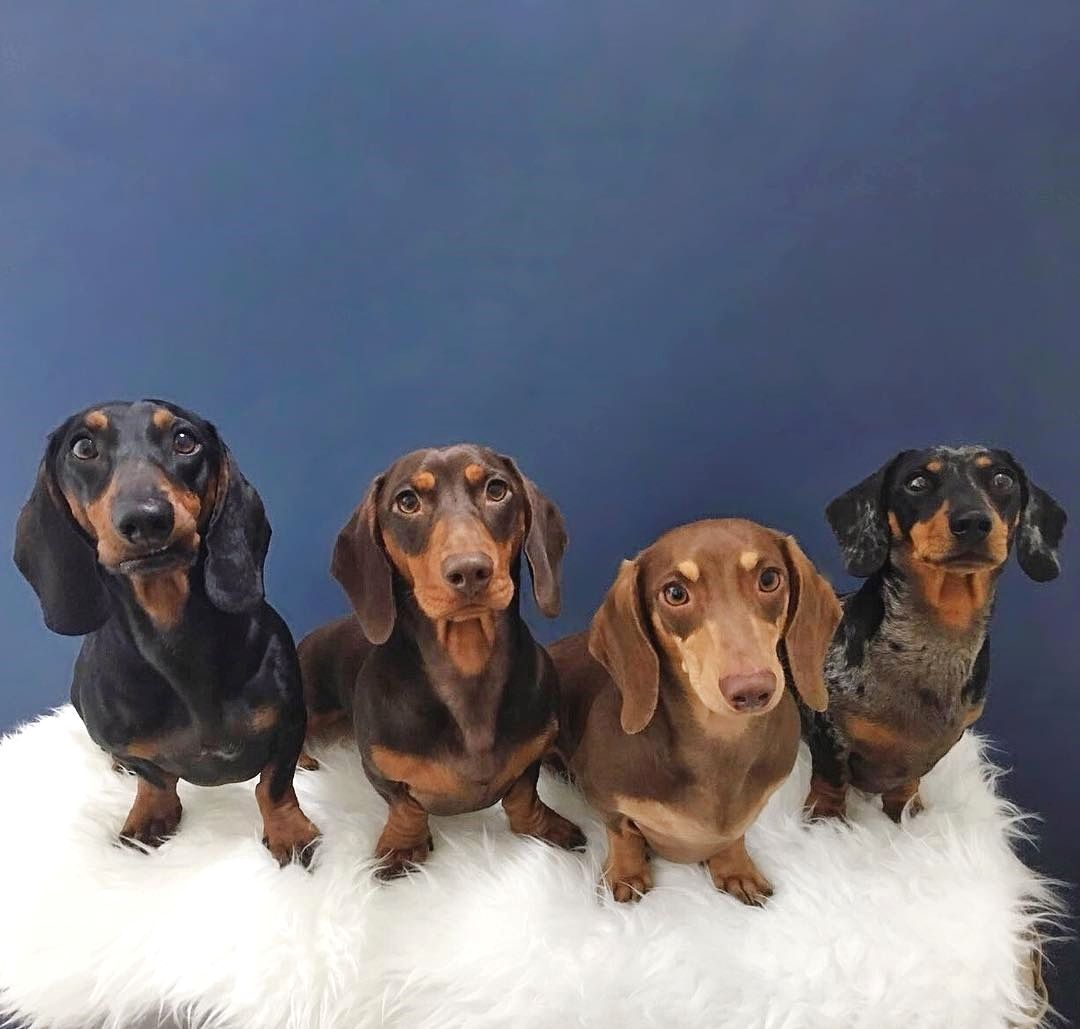 Dachshund Puppy For Sale In Benton Ar Adn 58650 On Puppyfinder