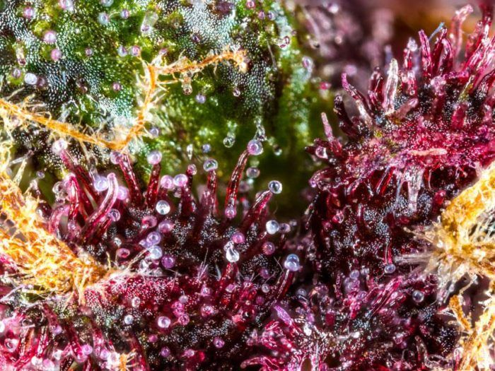 The Purple Trichomes of the Oregon Breeders Group | buds
