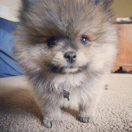 Charlie Da Evil Pomeranian Pup Awdorable Pomeranian