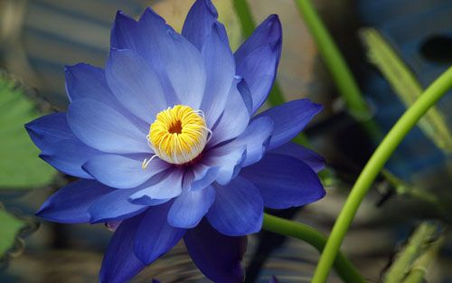 The Blue Lotus Flower Is A Beautiful There Are Diffe Meanings And Symbolisms Ociated
