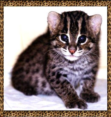 Baby Fishing Cat Prionailurus Viverrinus They Are Found In