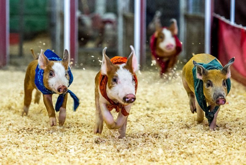 Pokey porky out of the gate: The Los Angeles County Fair pig derby has just begun.  C'mon, yellow pig!