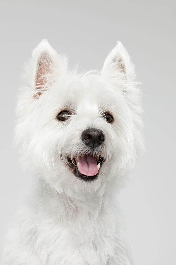 West Highland White Terrier Dog Breed Information Pictures