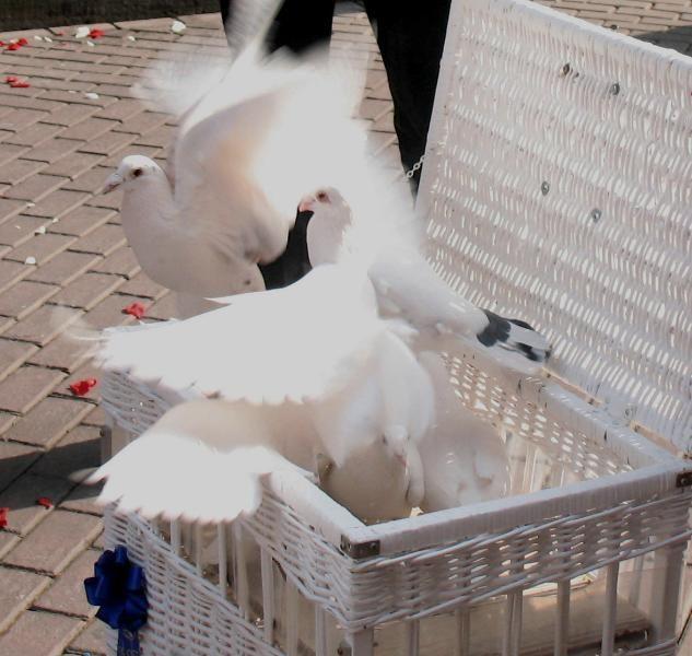 Weisse Tauben Fur Hochzeiten In Hannover U Umgebung M Alles Fur
