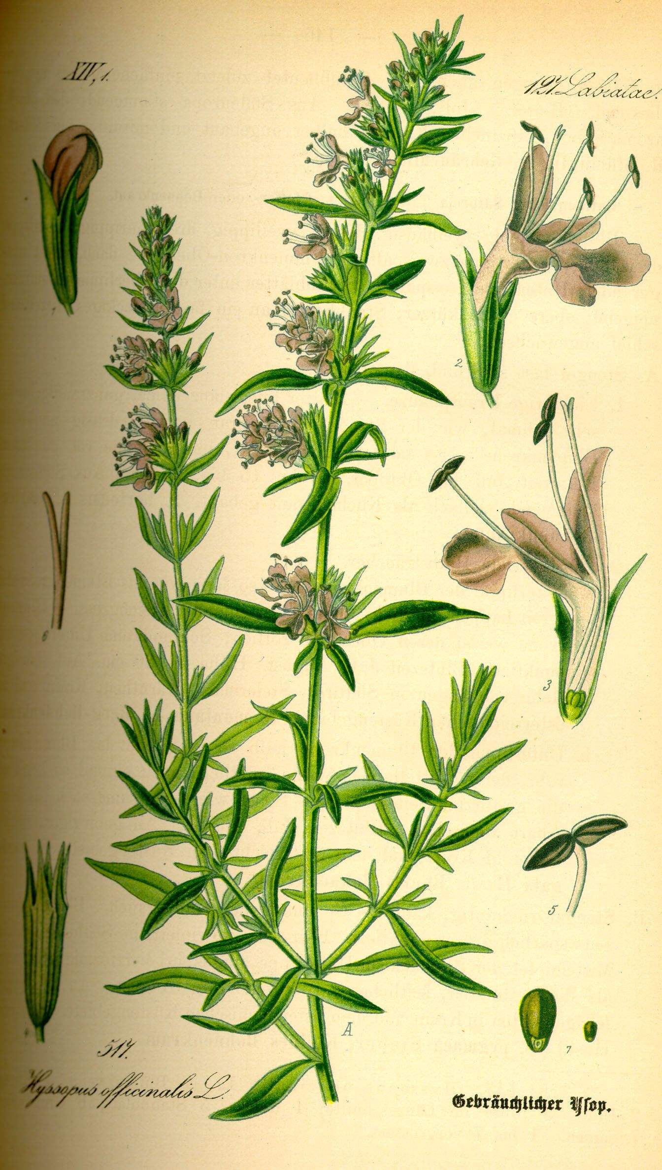 how to make hyssop oil