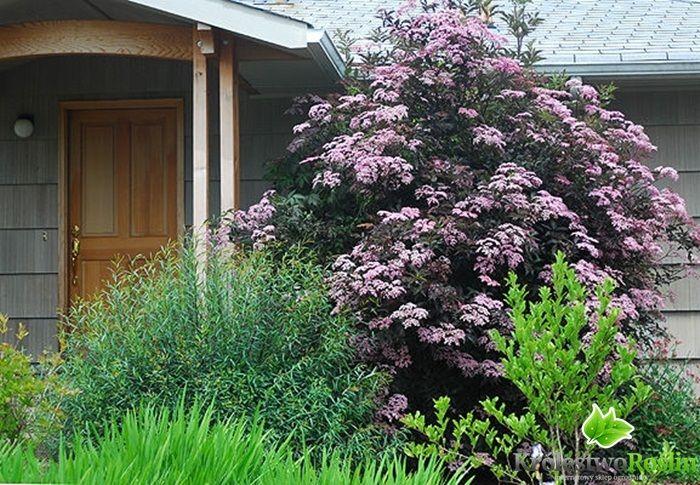 black tower elderberry sambucus nigra black tower. Black Bedroom Furniture Sets. Home Design Ideas