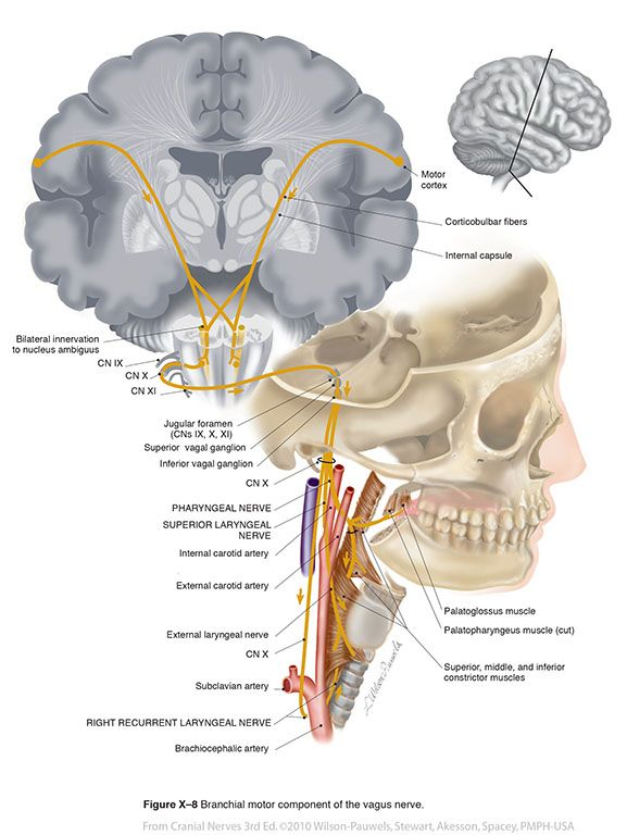 Pin By Briana Keller On Anatomy Knowledge Pinterest Cranial Nerves