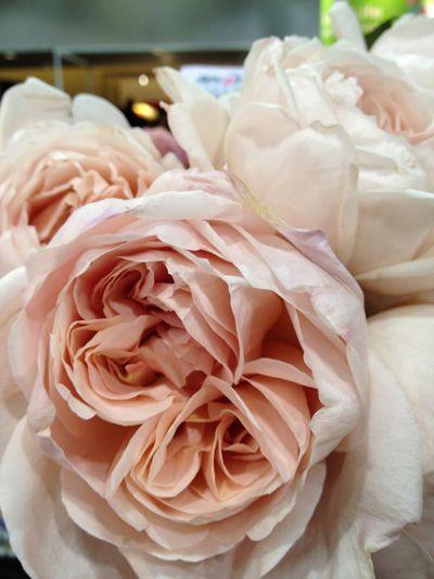 pale pink blush garden roses