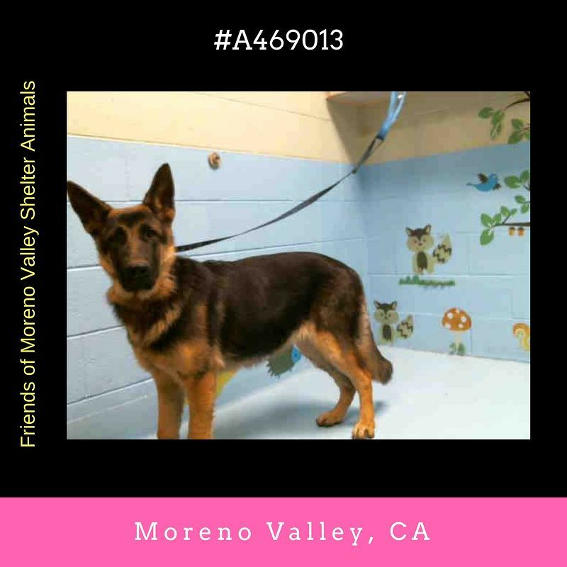 Female Black And Tan German Shepherd Dog Mix The Shelter Thinks I Am About 10 Months Old I Have Been At The Shelt Shelter Dogs Animal Shelter Shepherd Dog Mix