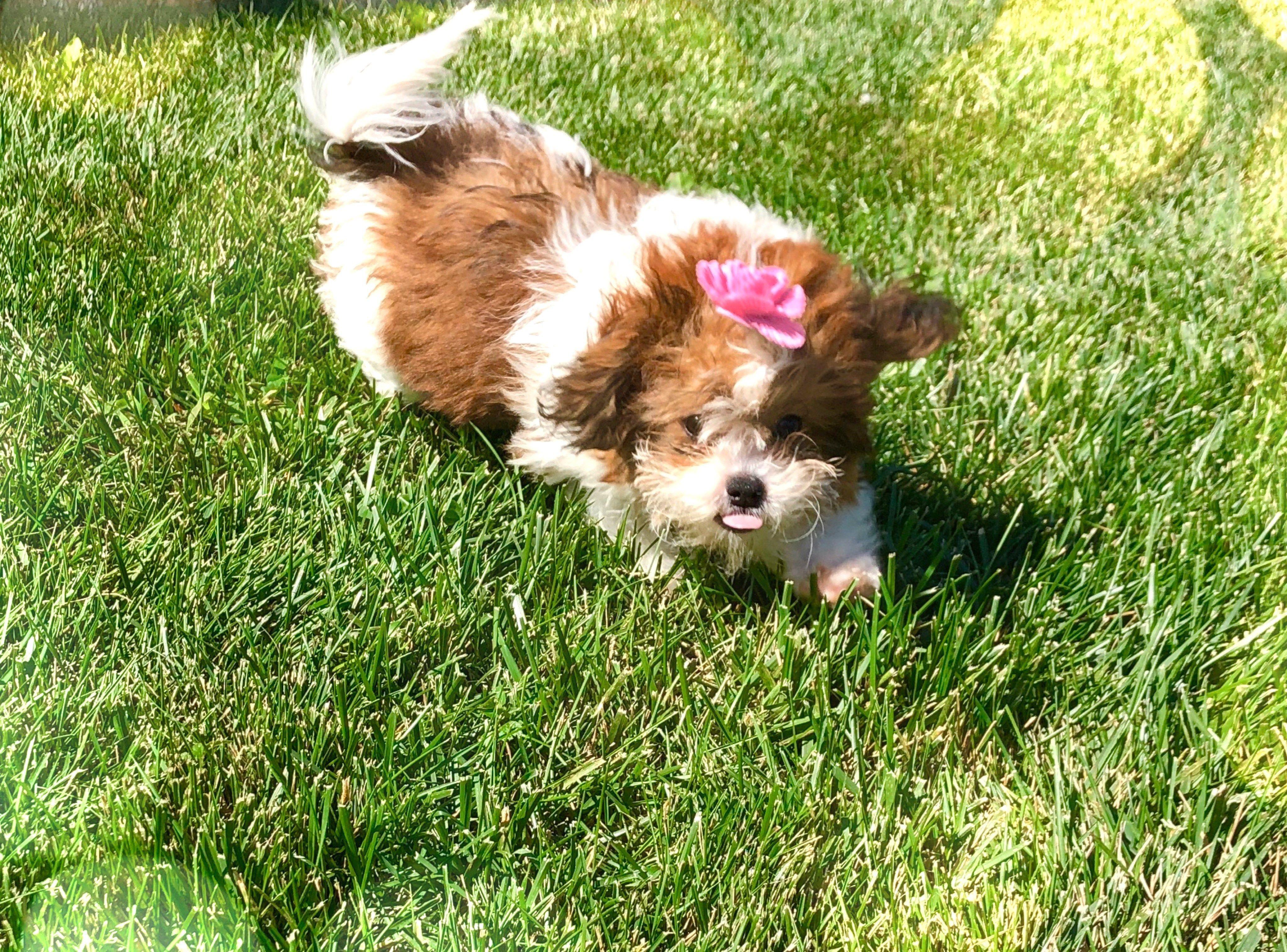 Bichon Puppies For Sale California