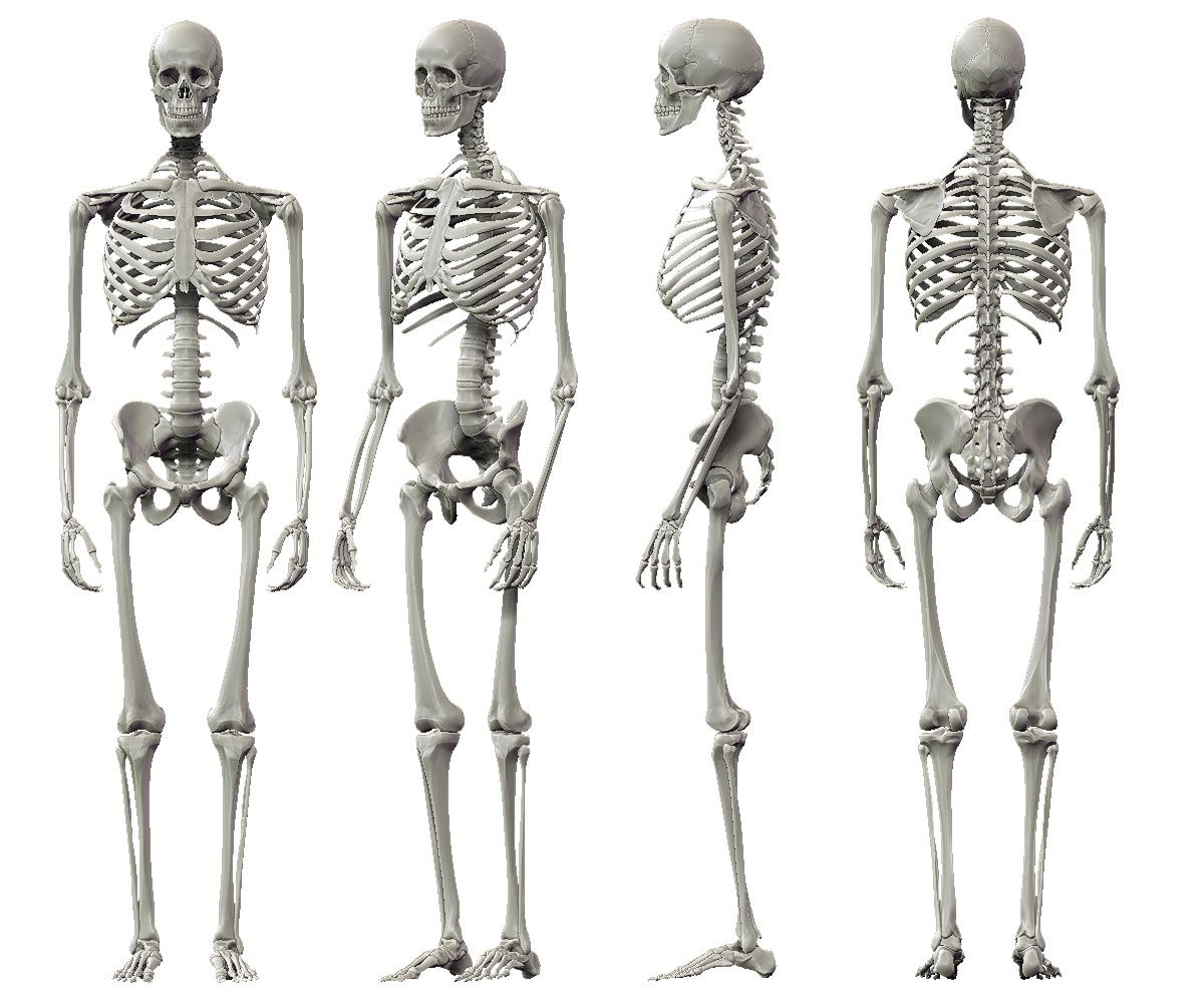 man skeleton anatomy image collections - learn human anatomy image, Skeleton