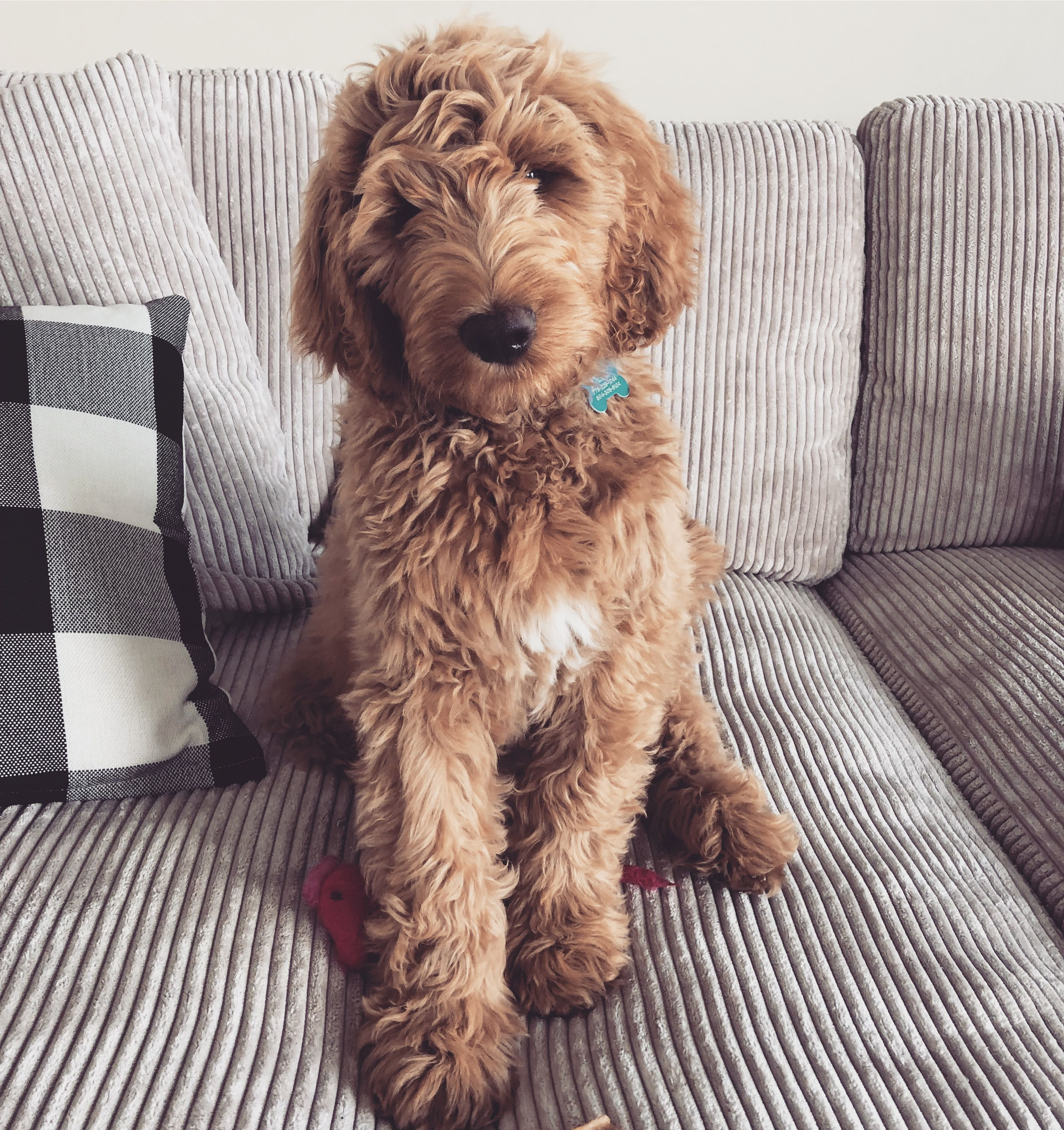 Goldendoodle Puppy In 2020 Puppies Goldendoodle Goldendoodle Puppy