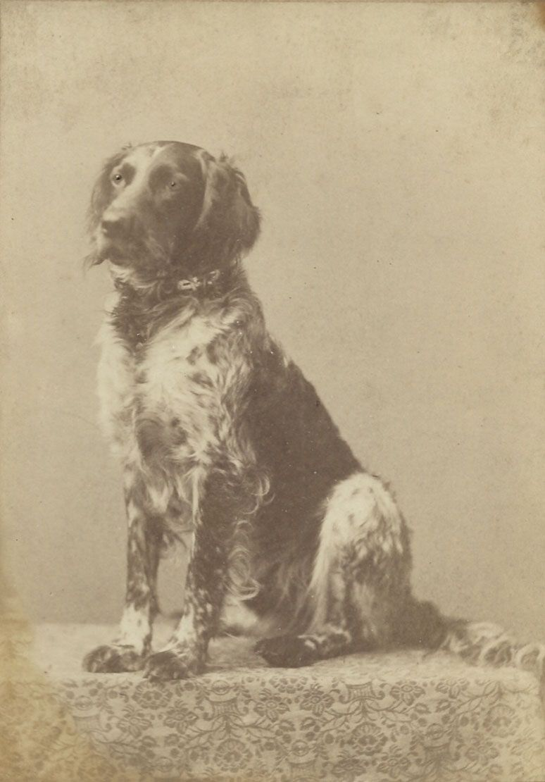 c.1880 cabinet card of setter. Photo by Chauncey L. Moore, 419 Main Street, Springfield, Mass.