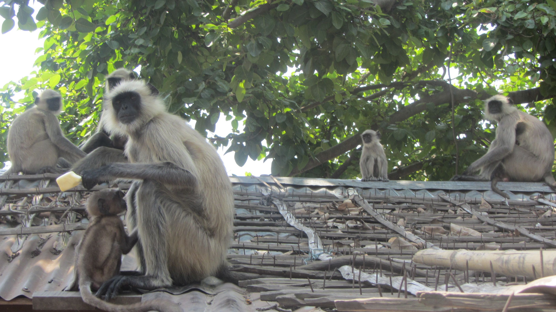Monos, en la Mayapur...