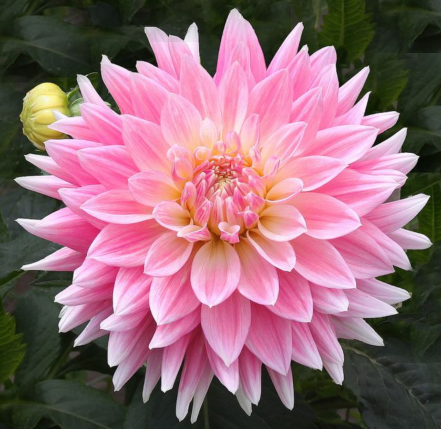 coffeenuts:  Pink Dahlia by dr_sequoia on Flickr.