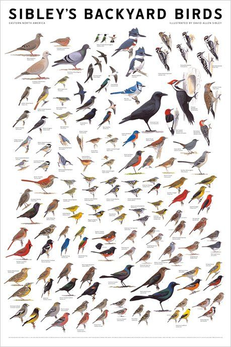 Identification Charts | Bird poster, Backyard birds, Wild ...